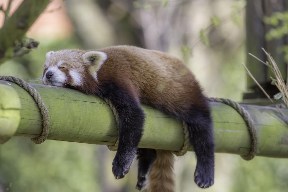 寝るレッサーパンダ