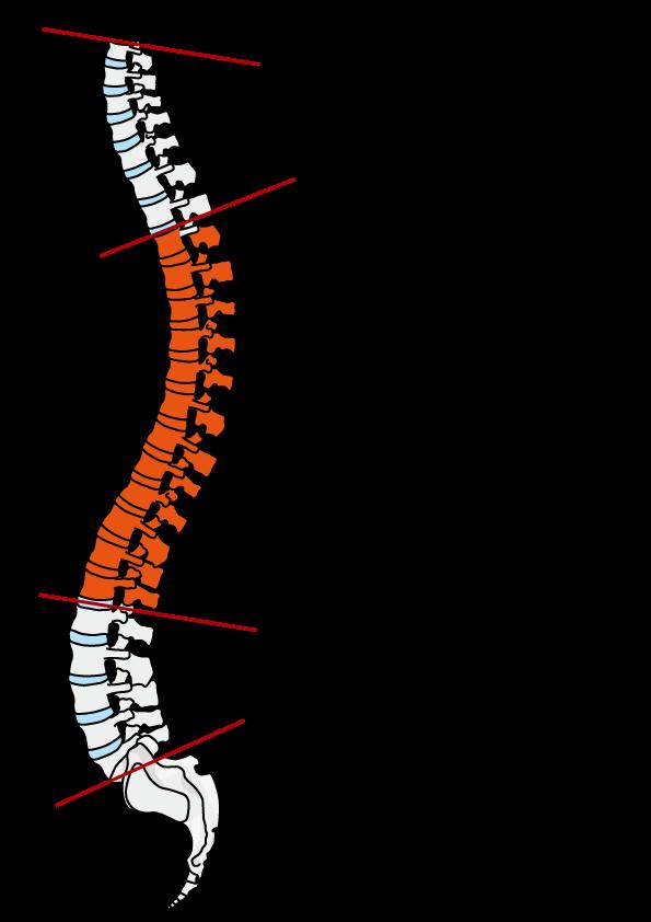 胸椎(きょうつい)の説明